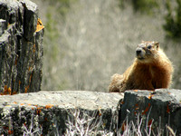 Yellow-Bellied Marmot2
