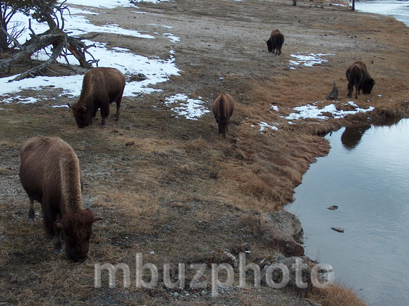 Buffalo Grazing 2